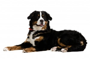 http://www.dreamstime.com/royalty-free-stock-photo-dog-lying-down-image4712465