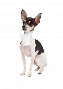 http://www.dreamstime.com/royalty-free-stock-photo-chihuahua-dog-carrying-bucket-sits-holding-its-mouth-image46114235