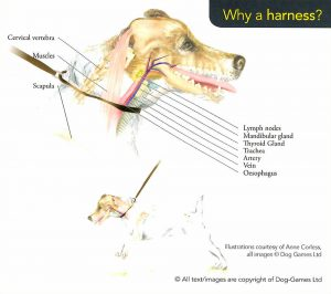 dog_neck_anatomy