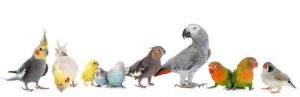 group-birds-common-pet-parakeet-african-grey-parrot-lovebirds-zebra-finch-cockatielin-front-white-background-66873286